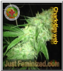 Dispensario Charlotte's Web 5 Female Weed Seeds